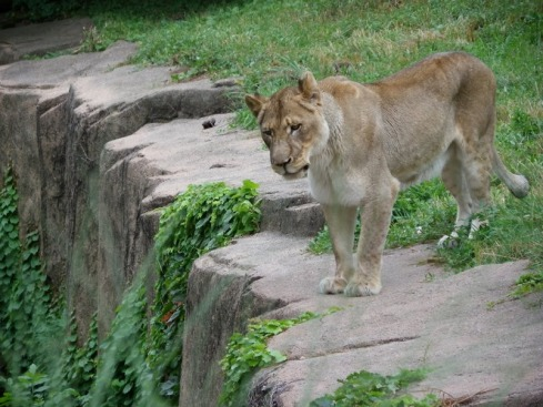 Lion at Lincoln Park Zoo